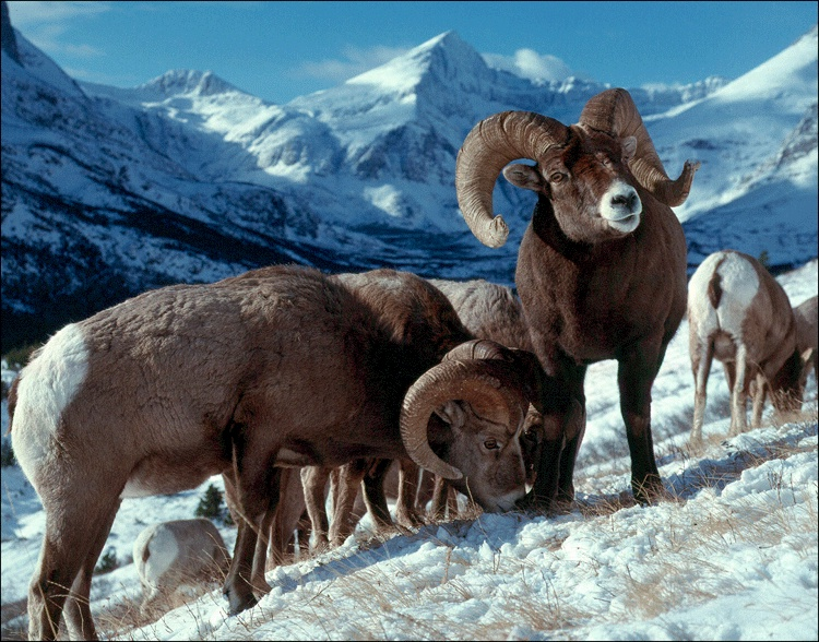 Bighorn Sheep - Search Cheap Flight Deals