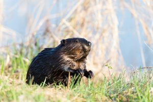 Canadian Beaver - Search Flights