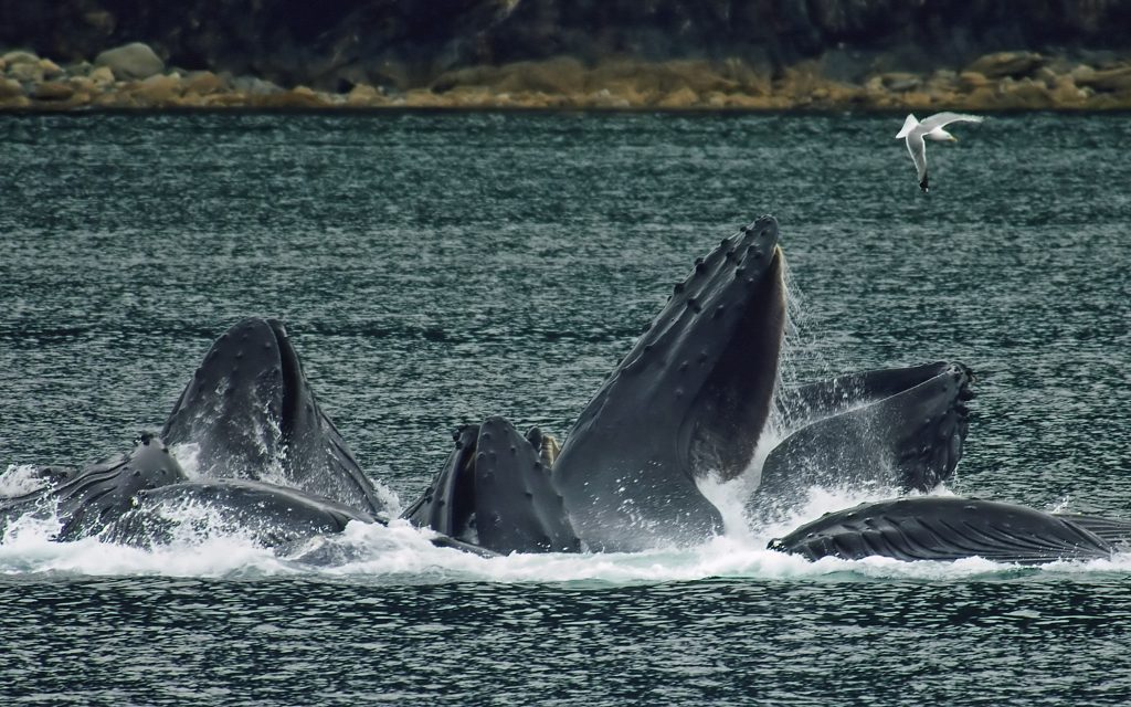 Humpback Whales - Book and Compare Flights