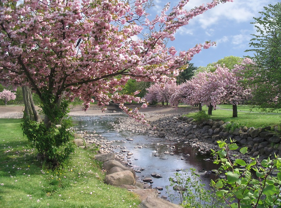 Cherry Blossoms In Spring - Cheap Air Tickets